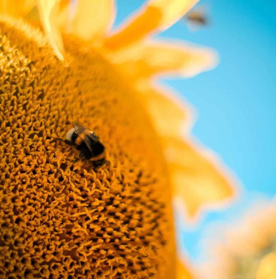 suncokret-960x970.jpg